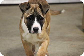Boxer Mix Puppy for adoption in Oakville, Connecticut - Trixie