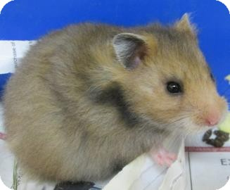 Hamster for adoption in Benbrook, Texas - Margie