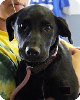 Labrador Retriever Mix Puppy for adoption in Divide, Colorado - Dixie