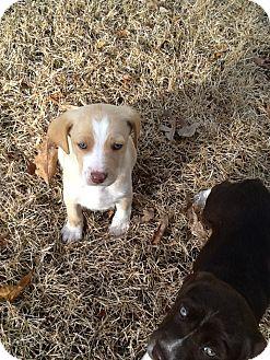 Labrador Retriever Mix Puppy for adoption in Richmond, Virginia - Billy