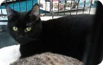 Domestic Shorthair Cat for adoption in Vancouver, Washington - Skipper