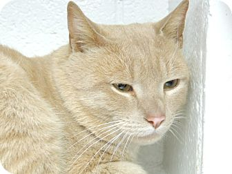 Domestic Shorthair Cat for adoption in Briarcliff Manor, New York - Blondie