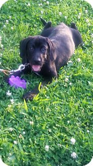 Labrador Retriever Mix Puppy for adoption in Fairview Heights, Illinois - Lucky