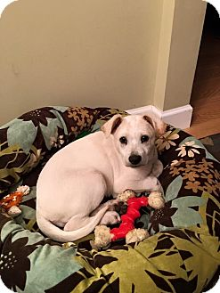 Labrador Retriever Mix Puppy for adoption in Sagaponack, New York - Carrie