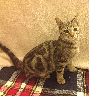 Domestic Shorthair Kitten for adoption in Santa Rosa, California - Merlin
