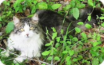 Domestic Longhair Cat for adoption in Dover, Tennessee - Anglin