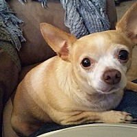 Chihuahua Mix Dog for adoption in Las Vegas, Nevada - Taquito