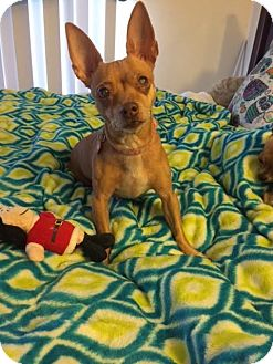 Miniature Pinscher/Terrier (Unknown Type, Small) Mix Dog for adoption in Encino, California - Ray - Courtesy Post