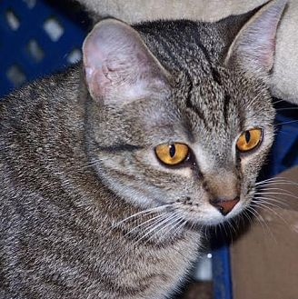 Domestic Shorthair Cat for adoption in Lambertville, New Jersey - Apple
