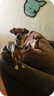 Chihuahua Mix Dog for adoption in La Verne, California - Henley and Fern