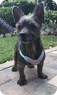 Cairn Terrier Mix Dog for adoption in Boca Raton, Florida - Tess
