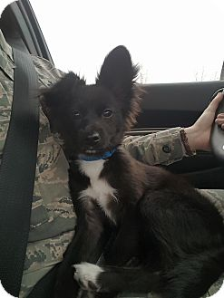 Papillon/Chihuahua Mix Puppy for adoption in Minot, North Dakota - Driller