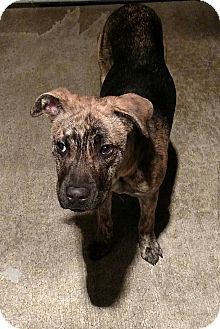 Shepherd (Unknown Type)/Mountain Cur Mix Dog for adoption in Sweetwater, Tennessee - Juan Julio