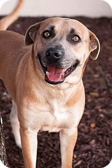 Labrador Retriever/Shepherd (Unknown Type) Mix Dog for adoption in Wilmington, North Carolina - Dozier