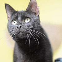 Adopt A Pet :: Little Vincent170181 - Atlanta, GA