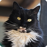 Domestic Longhair Cat for adoption in Kanab, Utah - Rascal
