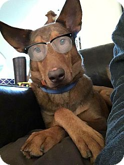 Husky/Shepherd (Unknown Type) Mix Dog for adoption in Roswell, Georgia - Declan