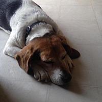 Adopt A Pet :: Dolly Parton - Hazel Park, MI