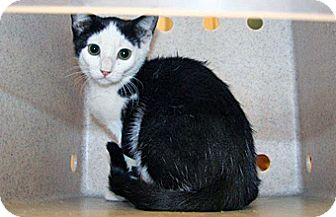 Domestic Shorthair Kitten for adoption in Wildomar, California - Frisbee