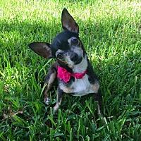 Chihuahua Mix Dog for adoption in Dallas, Texas - Apollonia