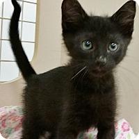 Adopt A Pet :: Midnight - St. Louis, MO