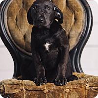 Adopt A Pet :: Luna Lovegood - Portland, OR