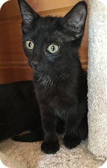 Domestic Shorthair Kitten for adoption in Salem, New Hampshire - Misty