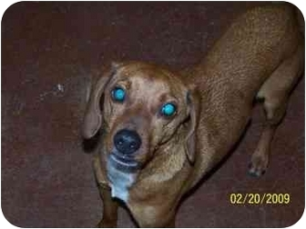 Beagle/Dachshund Mix Dog for adoption in Shelbyville, Kentucky - Miguel