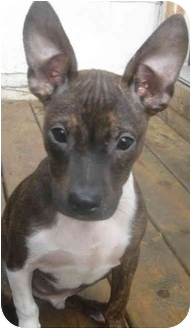 Boston Terrier/Rat Terrier Mix Puppy for adoption in Chicago, Illinois - Bandit(ADOPTED!)