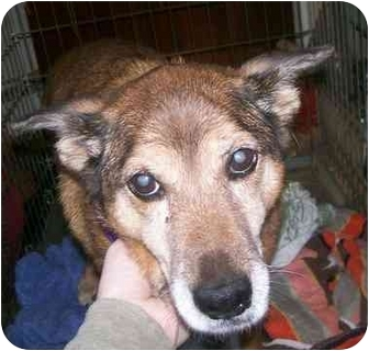 German Shepherd Dog/Sheltie, Shetland Sheepdog Mix Dog for adoption in Oak Ridge, New Jersey - Quincy Girl
