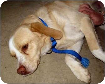 Spaniel (Unknown Type)/Retriever (Unknown Type) Mix Dog for adoption in Marseilles, Illinois - Tucker