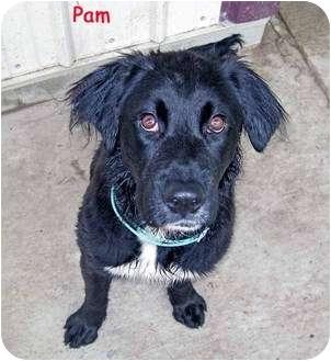 Retriever (Unknown Type)/Border Collie Mix Dog for adoption in Marseilles, Illinois - Pam