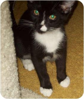 Domestic Shorthair Cat for adoption in Carlisle, Pennsylvania - Sylvester