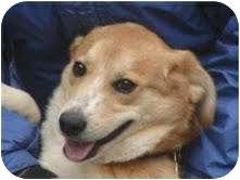 Spitz (Unknown Type, Small)/Beagle Mix Dog for adoption in Staunton, Virginia - Opie