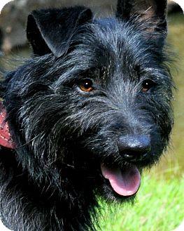 """Scottie, Scottish Terrier Mix Dog for adoption in Wakefield, Rhode Island - MARIELLA(ADORABLE """"SCOTTIE"""""""