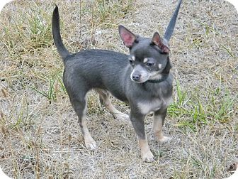 Chihuahua Puppy for adoption in cameron, Missouri - CHUY