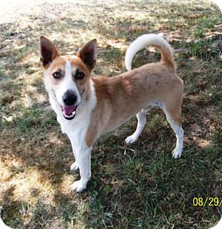 Basenji Mix Dog for adoption in Linton, Indiana - MAX