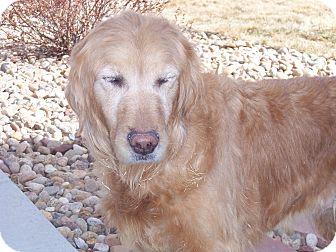 Golden Retriever Dog for adoption in Denver, Colorado - Chloe