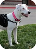 American Staffordshire Terrier Mix Dog for adoption in justin, Texas - Nahla