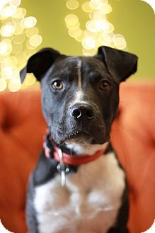 Pit Bull Terrier Puppy for adoption in Portland, Oregon - Jacoby