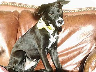 Labrador Retriever Mix Puppy for adoption in North Brunswick, New Jersey - Moose