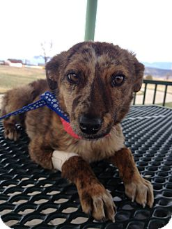 Shepherd (Unknown Type)/Catahoula Leopard Dog Mix Puppy for adoption in Westminster, Colorado - Hyena
