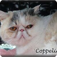 Adopt A Pet :: Coppelia aka Parfait - Beverly Hills, CA