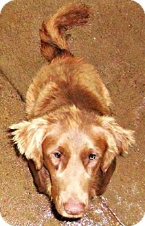 Golden Retriever/Labrador Retriever Mix Puppy for adoption in Oswego, Illinois - Jinxi