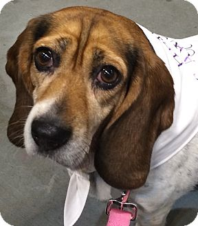 Basset Hound/Beagle Mix Dog for adoption in Fairview Heights, Illinois - Heidi
