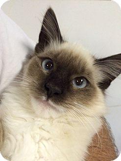 Ragdoll Kitten for adoption in Oakdale, California - Romeo