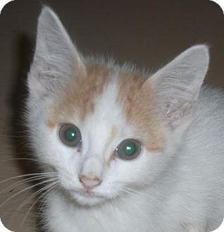 Domestic Shorthair Kitten for adoption in Newburgh, Indiana - Tack- Cute !