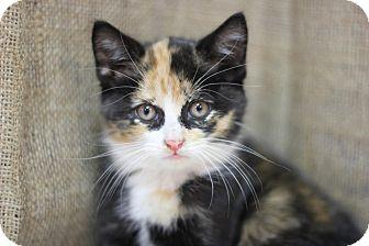 Domestic Shorthair Kitten for adoption in Midland, Michigan - Vonnala