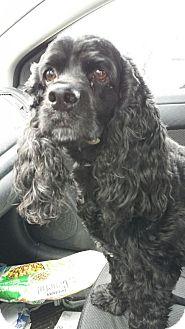Cocker Spaniel Mix Dog for adoption in mishawaka, Indiana - Kippy