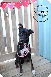 Doberman Pinscher/German Shepherd Dog Mix Dog for adoption in Liberty, Missouri - Bonnie